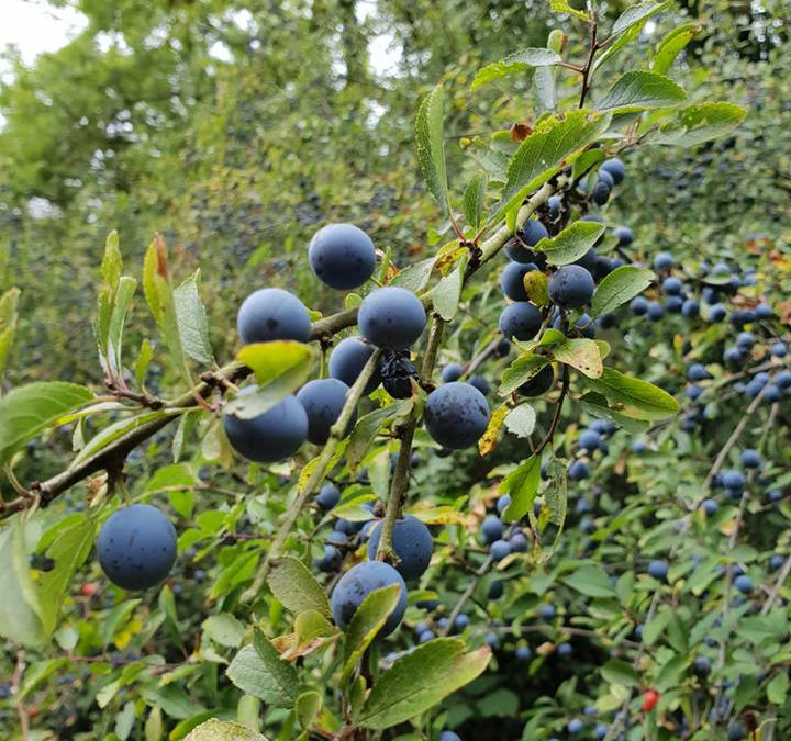 Sloe up in September… and pick the berries!