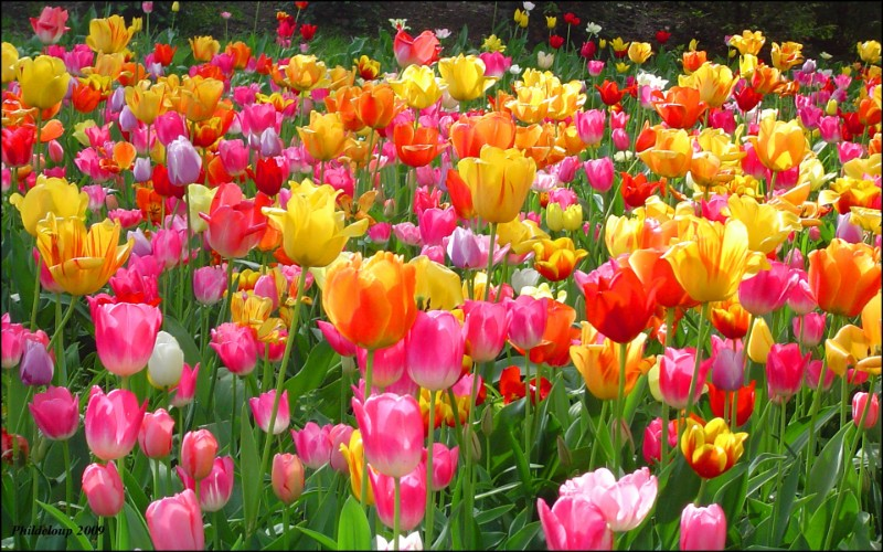 5391622-tulips-images